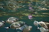 Saddled Seabream attacking a Jellyfish Cote bleue MP France