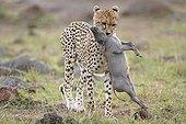 Cheetah from capturing a young Warthog Masai MaraKenya
