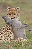Cheetah choking a young Warthog Masai Mara Kenya ; After a short but frantic race