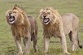 Lions mâles dans une attitude de flehmen  Masaï Mara Kenya