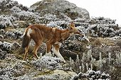 Ethiopian Wolf capturing a rodent Bale Mountains NP Ethiopia