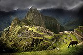 Lama grazing at Machu Picchu in Peru