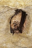 Greater Horseshoe bat  in hibernation Normandy France