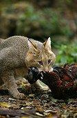 Jungle Cat stifling a Pheasant
