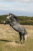 Lusitano horse doing a somersault France
