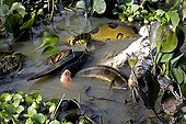 Anaconda has captured aWood  Stork Llanos Venezuela