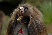 Male Gelada yawning and showing canines Simien Mountains