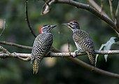 Female (left) and male Nubian Woodpecker near Awassa