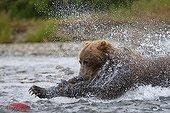 Grizzly fishing a salmon Alaska Digital assembly