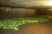 Salads growing in a cellar