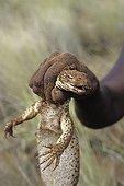 Sand monitor hunted by an Aboriginal lady in Australia ; Warlpiri Aborginal community of Alice Spring