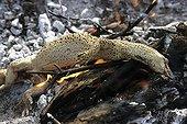 Sand monitor cooked on embers in Australia ; Warlpiri Aborginal community of Alice Spring