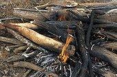 Kangaroo tail cooked on embers in Australia ; Warlpiri Aborginal community of Alice Spring