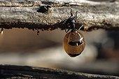 Honey ant dug up by Aboriginal ladies in Australia ; Warlpiri Aborginal community of Alice Spring