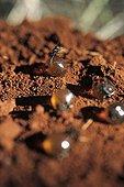 Honey ants dug up by Aboriginal ladies in Australia ; Warlpiri Aborginal community of Alice Spring