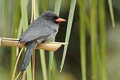 Black-fronted Nunbird on a branch Pantanal Brazil