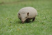 Large hairy armadillo in the grass Pantanal Brazil