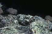False Stonefish camouflaged on coral reef bed Red Sea