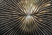 Mushroom Coral polyp Papua New Guinea Bismark Sea