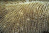 Mushroom coral Red Sea Egypt