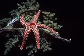 Red Mesh Starfish on Coral Red Sea Egypt