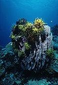 Crinoids perched on top of a Barrel Sponge New Britain Papua