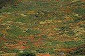Bilberry heath in autumn Pyrenees France