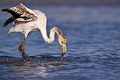 Juvenile flamingo grooming in Camargue France