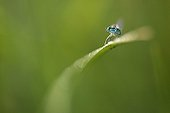 Agrion maiden raising forepaws France