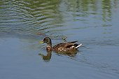 Mallard and snake in a pond France