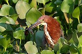 Rufescent tiger-heron with a fish in its beak Brazil