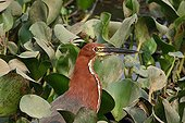 Portrait of a rufescent tiger-heron on the lookout Brazil