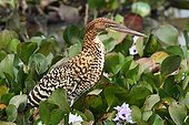 Rufescent tiger-heron juvenile on the lookout Brazil