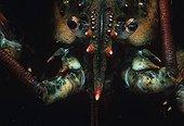 Head of an American Lobster Atlantic Ocean USA