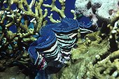 Giant Crocus Clam exposing its mantle on fire coral Red Sea