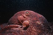 Giant Pacific octopus crawling on the bottom of the Pacific