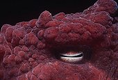 Eye of a Giant Pacific Octopus Pacific Ocean