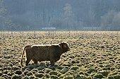 Highland Cattle grazing in fens Jura France