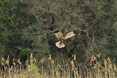 Marsh Harrier over a reed France  ;