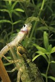 Emperor Anax larva eating a Mosquito fish Sardinia