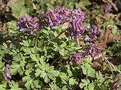 Corydale en fleur au printemps dans le Doubs France