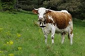 Vosges Cows during transhumance Petit Ballon Vosges ;