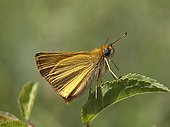 Small skipper on a sheet in the spring France