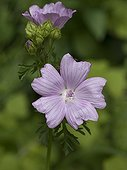 Musk mallow flowering in summer Doubs France