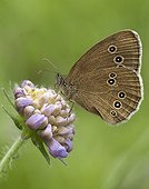 Ringlet on a Field Scabiosa flower in summer France