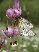 Black-veined White mating on a Purple Turk's Cap Lily