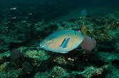 Blue-barred Parrotfish Los Islotes Mexico