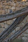 Chouette chevêche posée Navarre Espagne