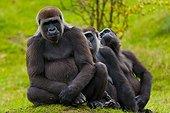 Grooming entre Gorilles de plaine de l'ouest