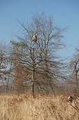 Asian hornet's nest in an oak Landes France